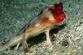 The Bizarre Red-Lipped Batfish