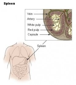 As in dogs, the human spleen is located on the left side of the abdomen near and partially behind the stomach, is covered with a capsule and contains red pulp and white pulp.