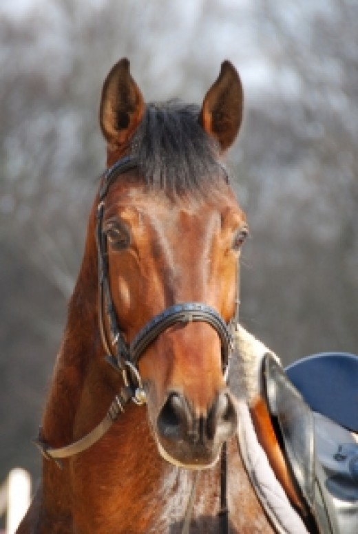 A saddle horse ready to ride