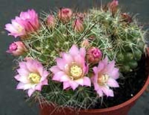 A flowering Mammillaria cactus