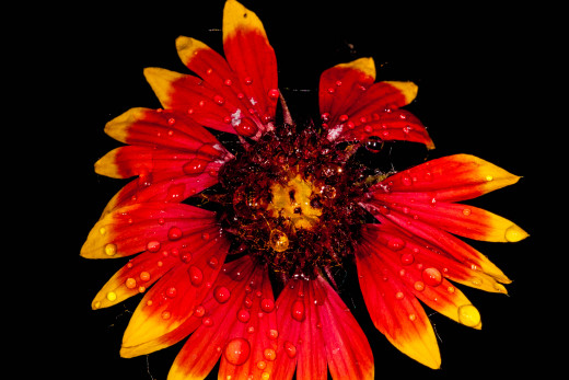 Indian Blanket flower with water drops.