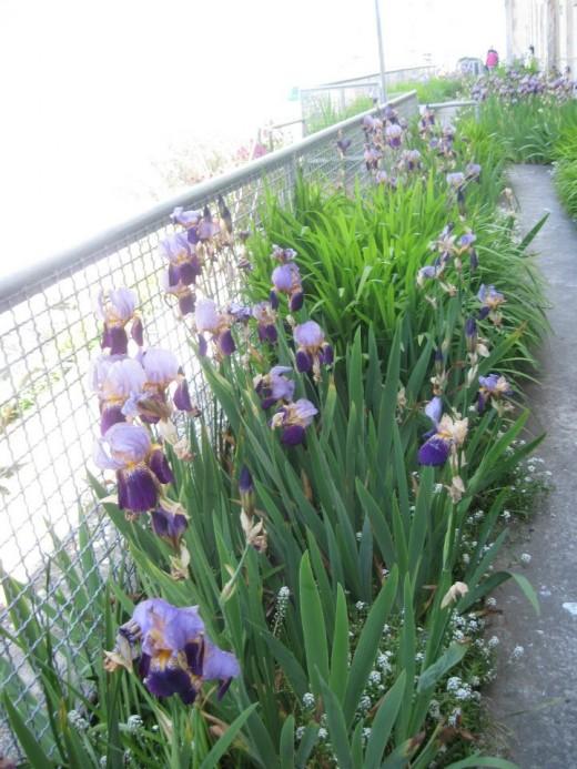 Purple irises.