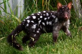 A black eastern quoll photographed in Tasmania.