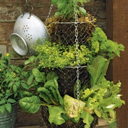 Salad vegetables such as lettuce, radishes and cherry tomatoes are also great for hanging baskets.