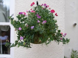 Sweet peas thrive in a hanging basket.