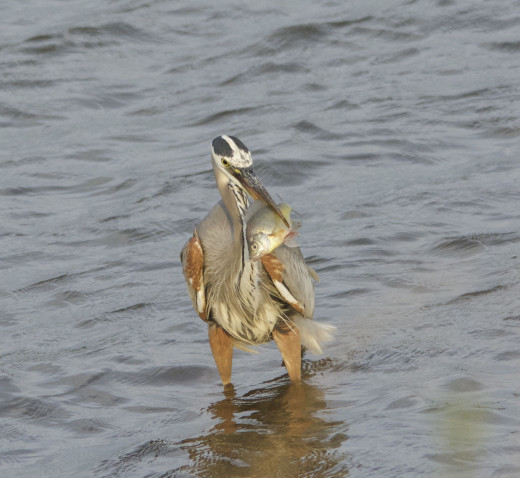 Great Blue Heron with His Fish