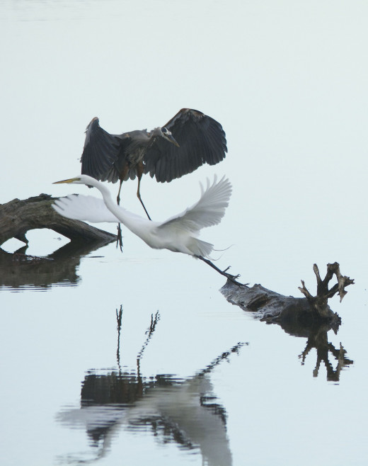 Great Blue Heron and Great Egret(front)