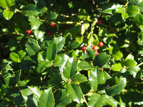 Holly Berries growing in the Ozarks