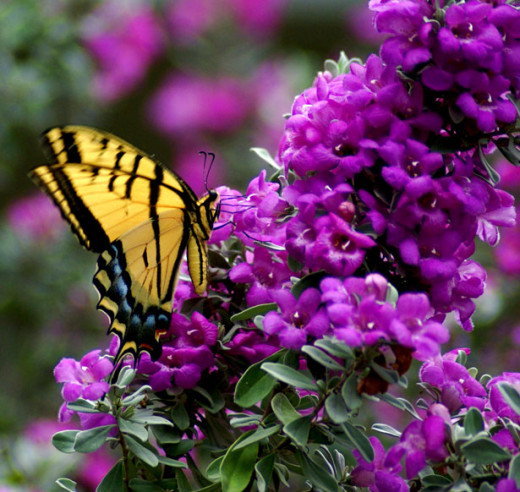 Butterfly Trees, flowers and certain plants like swan plants will attract Butterflies to the garden.