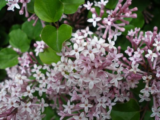 Lilac bush in bloom