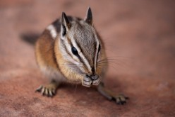 Lost Baby Chipmunk
