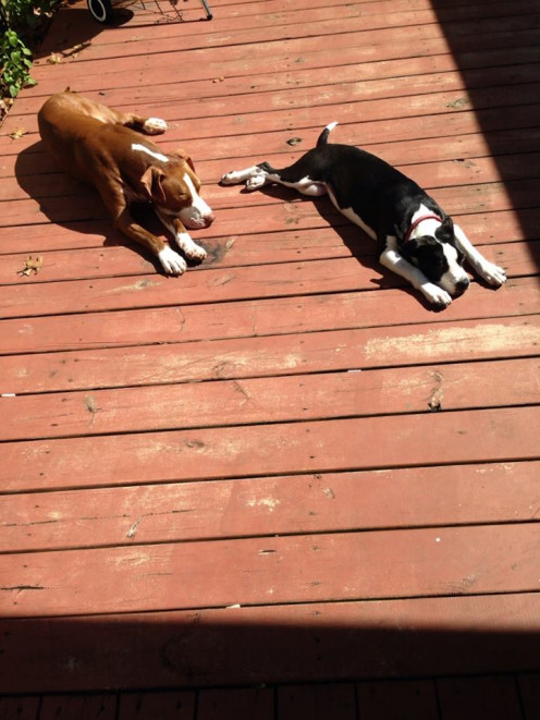 Rocky and Dixie enjoying the sun in the back yard.