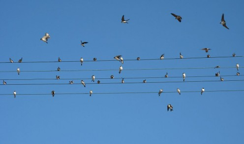 Common House Martin flying in Czech Republic