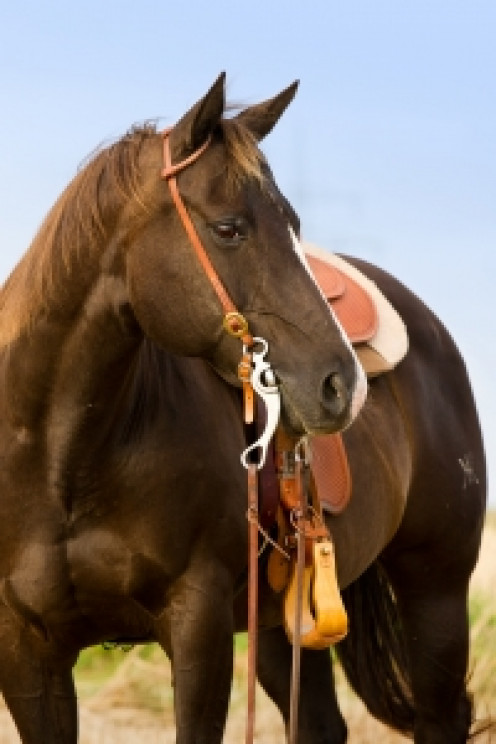 A typical saddle horse