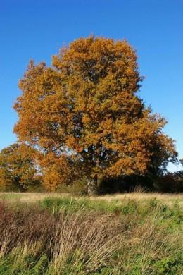 Autumn Oak in England by Glyn Baker