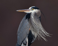 The Great Blue Heron!