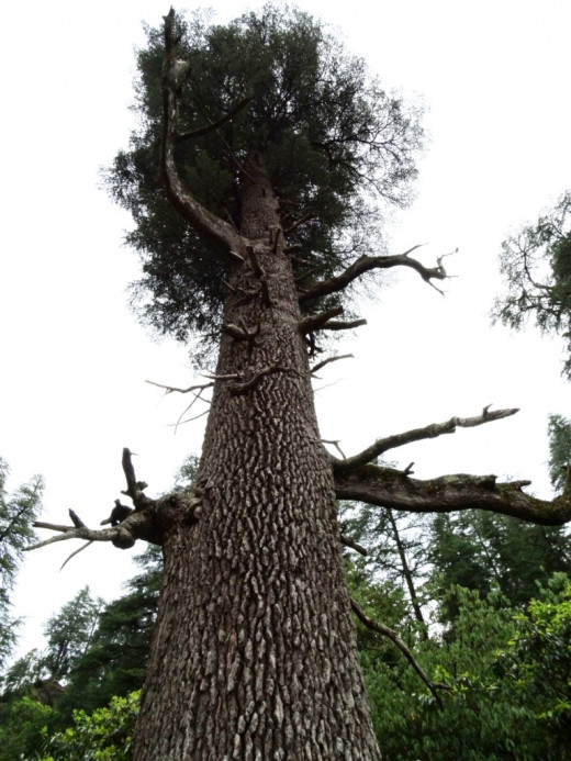 A gigantic DARUKA ( Deodar or Cedar) tree inside the Jageswar temple complex