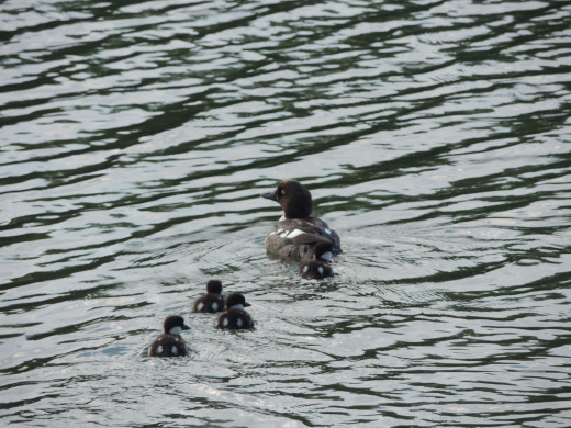 Loon and hatchlings on Isle Royale