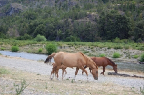 Mares and foal by the creek
