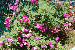 Seven Sisters rose blooming in different colors