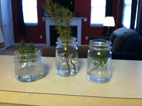 May 17: Two rosemary, one lavender.