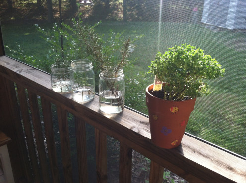 May 31: Herbs in water and a small boxwood basil.