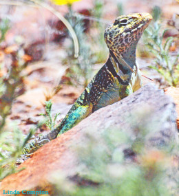 Snazzy Collared Lizard