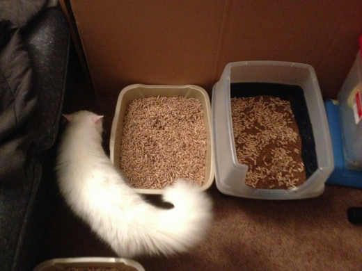 Snow, exploring his new litter.  The box on the left is pure wood pellets, while the box on the right is a mix between their prior litter and the pellets.