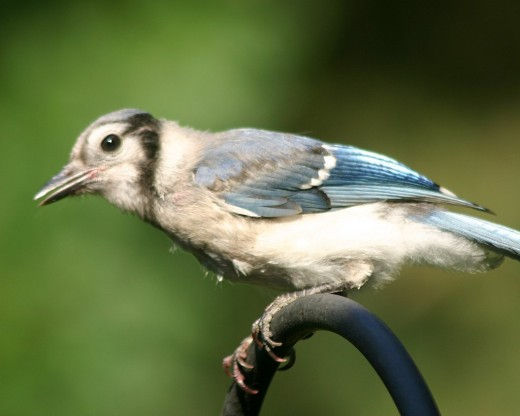 Young Blue Jay