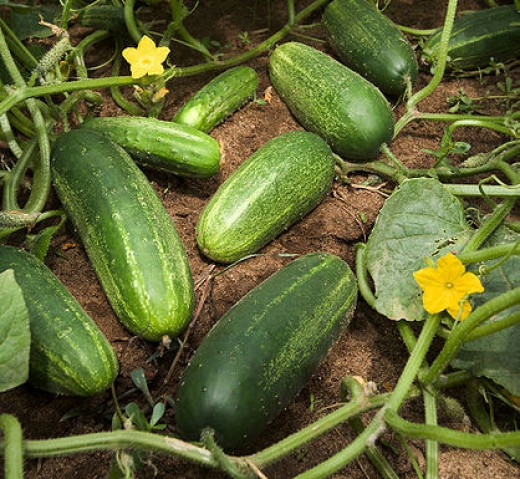 Here we have a beautiful healthy crop of cucumbers growing. These are ready to be picked and used. I like o wash them, cut them up lengthwise and sprinkle with salt and pepper. They are so delicious fresh from the garden that way.