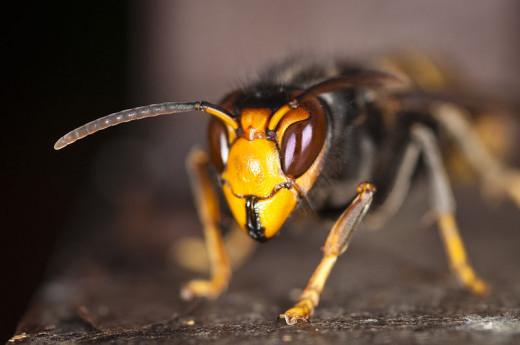 Asian hornet - Vespa velutina