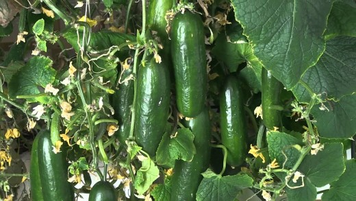 Here we have a beautiful crop of cucumbers growing and ready to be picked and enjoyed.