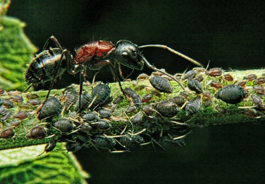 An ant tending to it's aphids.