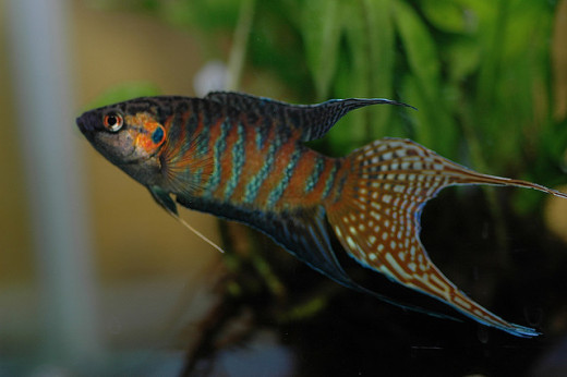 Paradise fish will dart tot he top of the tank continuously in an ammonia filled tank.