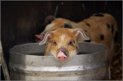 How To Raise Pigs In Your Back Yard