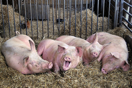 Here's a funny picture of some Hogs laying around talking to each other.
