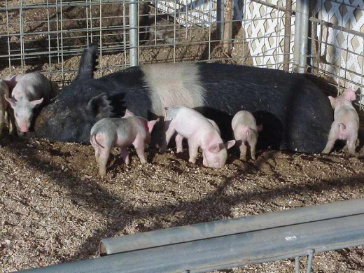 Sow with her young piglets in this photo.