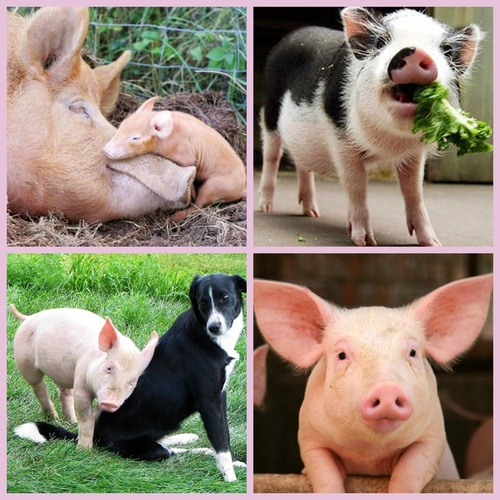 Real Cute Pig Photos Above. Pigs can be so very cute.