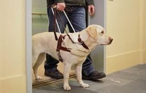 Seeing-Eye dogs help blind individuals get around and do daily chores. They are trained since birth to care for handicapped people.