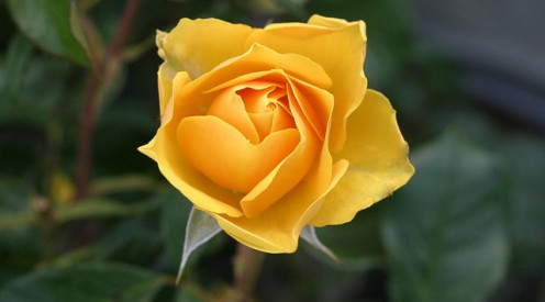 A yellow rose