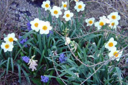 Daffodils and grape hyacinths usually bloom together