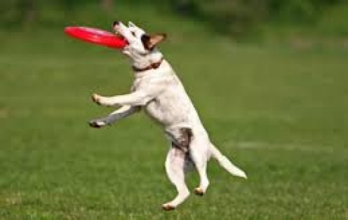 Dogs can be taught to play fetch with a ball, stick or even a frisbee. Once they learn to play they fall in love with it.