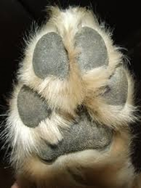 A dog's paws produce sweat and it's the only part of the dog that sweats at all.