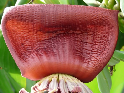 A flower will emerge from the banana plant first before the bananas emerge.