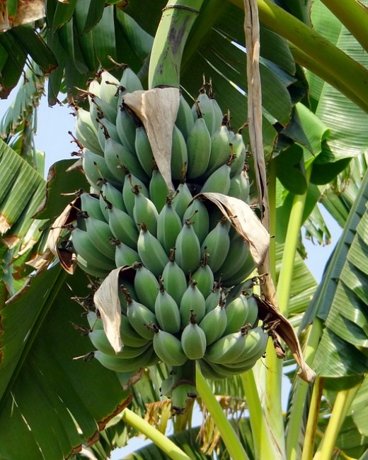 Once the bananas are fully grown they are cut down and harvested.