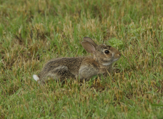 Young Eastern Cottontail