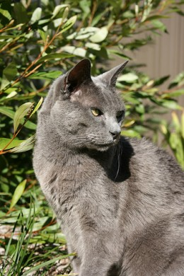 Russian Blue by TCL 1961