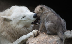 Other mammals that make great fathers.