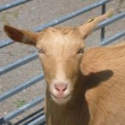 Goats can be an excellent life stock choice