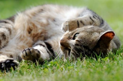 Tabby cat by Dan